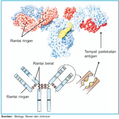 Model struktur antibodi