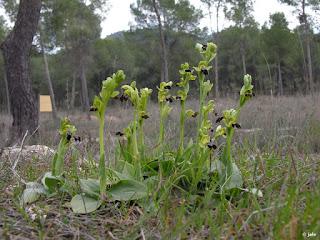 Grupo numeroso de abejeras (Ophrys fusca s.l.), junto al vivero forestal El Valle