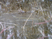 Northern Pike in flooded Mosquito Creek