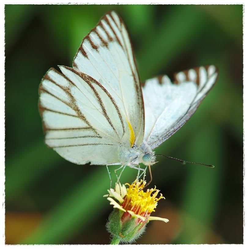 gambar kupu kupu cantik dunia binatang