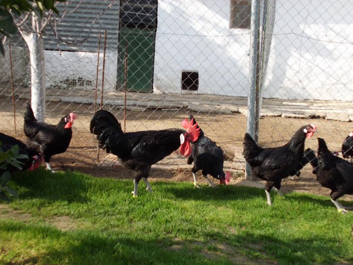 sureñas negras enero 2012