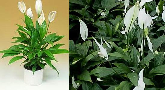 Plantas para purificar o ar - Lírio da Paz - Spathiphyllum