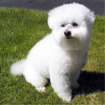 Bichon Puppies on Bichon Puppies Pictures   Puppies Dog Breed Information Image Pictures