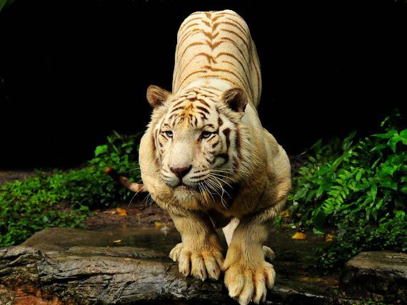 gambar harimau - gambar harimau jawa