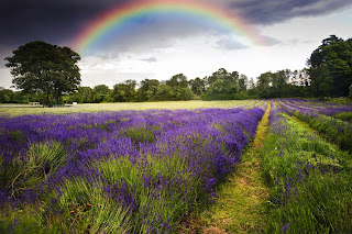 Campos de lavanda lavender fields and rainbow