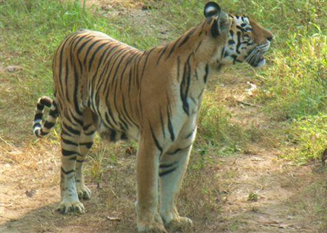 Bengal tiger food