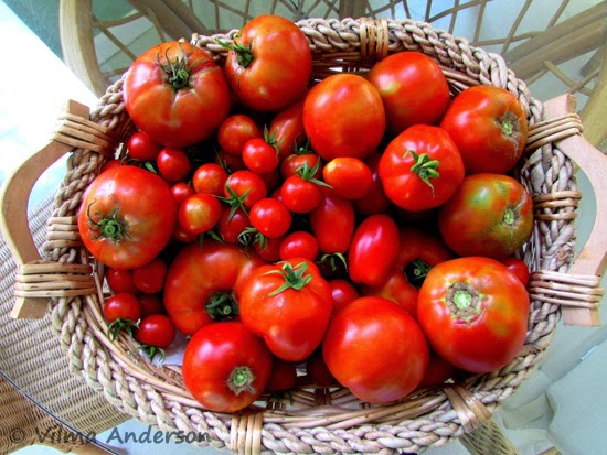 Basket of home grown tomatoes the hydroponics way