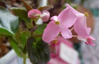CHMusings: pink begonia