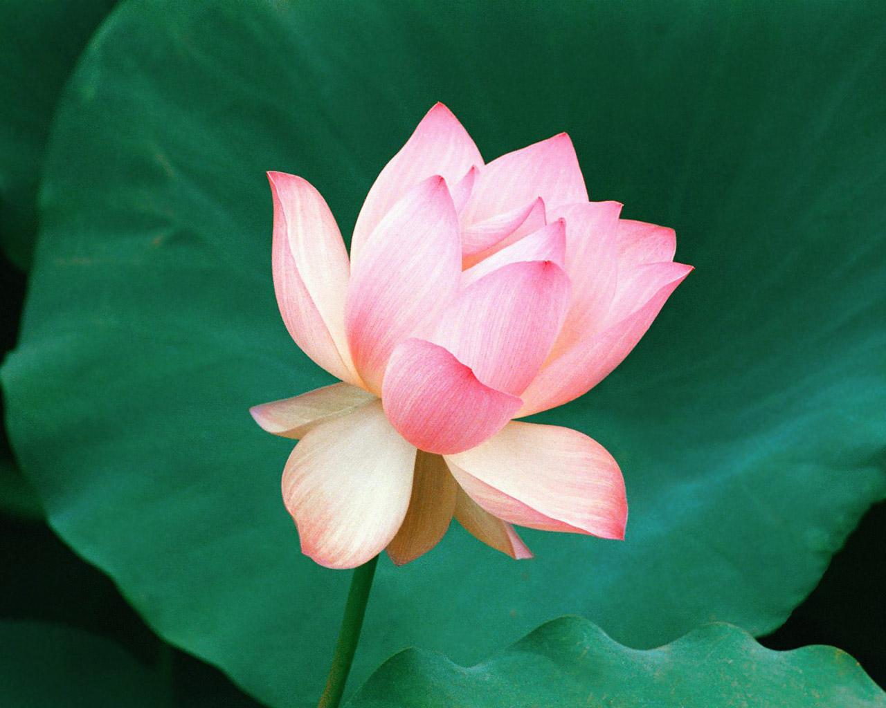http://3.bp.blogspot.com/-eG1ER3Lz_pA/T1ctNnq5nbI/AAAAAAAAGtM/5nXuDcn19T4/s1600/Best+lotus+flower+wallpapers+(9).jpg