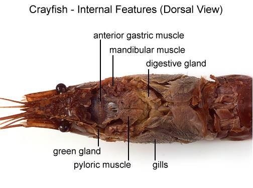 Aqua Fanatic Crayfish Anatomy