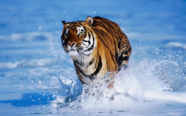 Wallpaper of a bengal tiger running through the water
