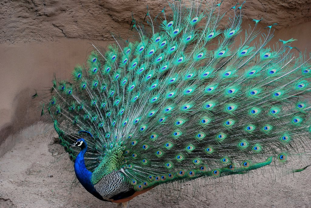 Peacock, the most beautiful and colorful bird in the world ...