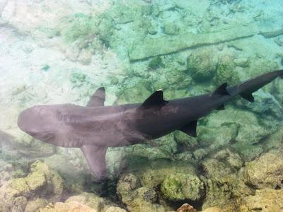 Ikan hiu dipenangkaran Karimunjawa