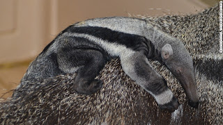 How does a giant anteater get pregnant and give birth without her mate?