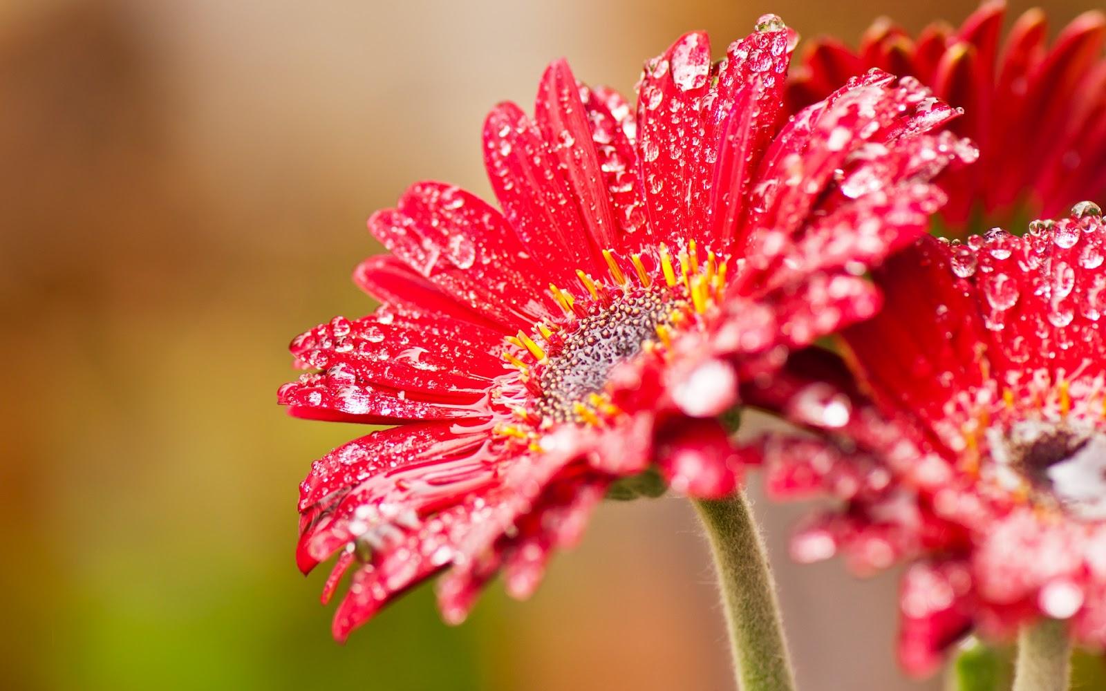 Imágenes de flores  Flores-Rojas-Lluvia-Agua_01