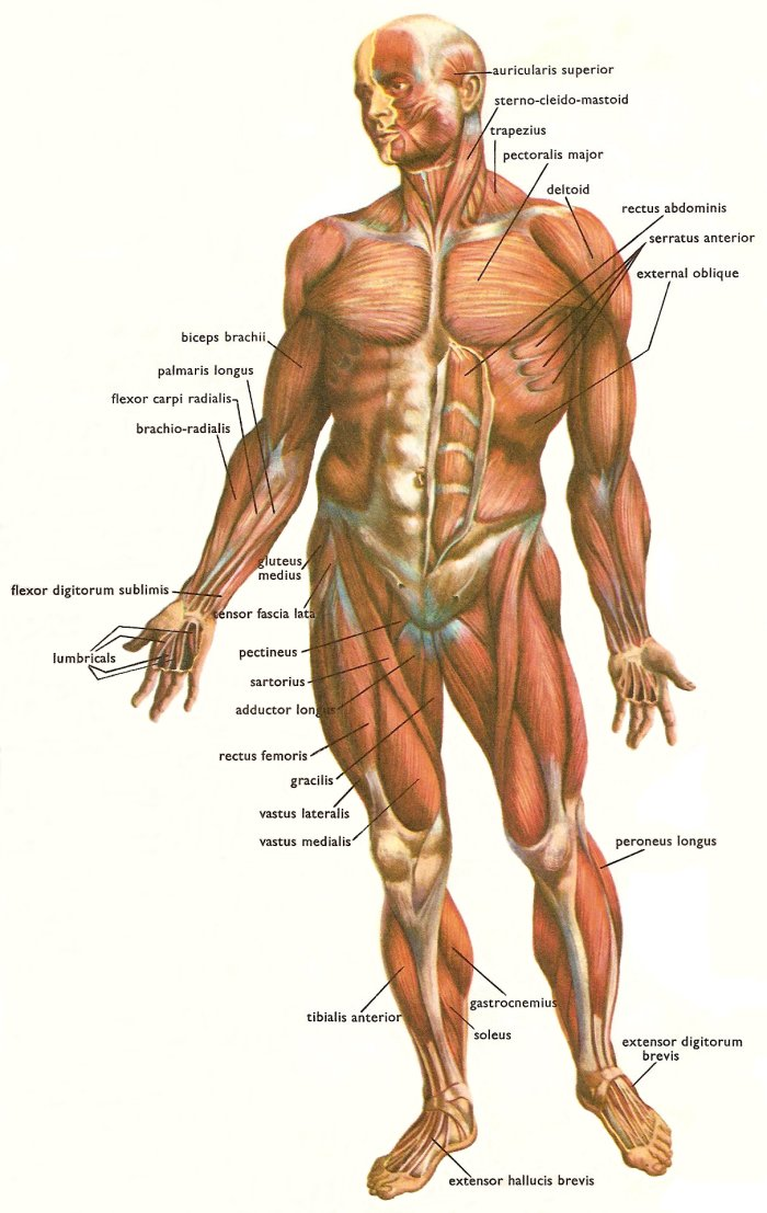 What Is The Largest Muscle In The Human Body Muscle Fitness