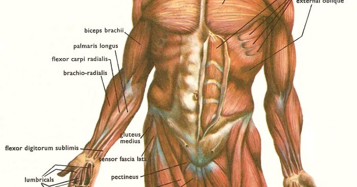 What is the largest muscle in the human body? ~ Muscle & Fitness