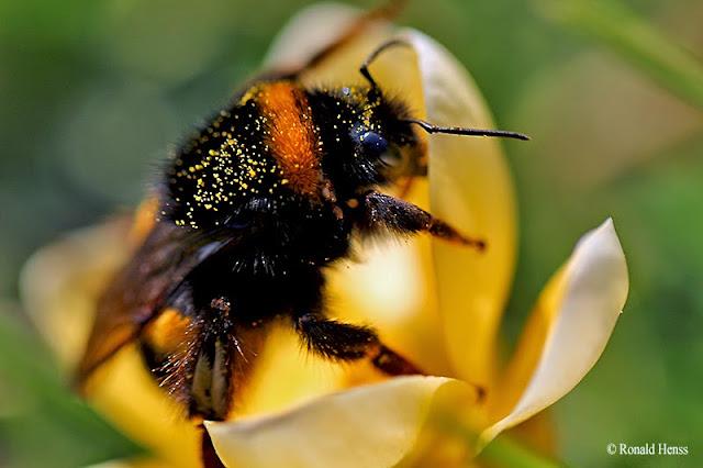 Tiere Insekten Blumen Hummel auf Krokus