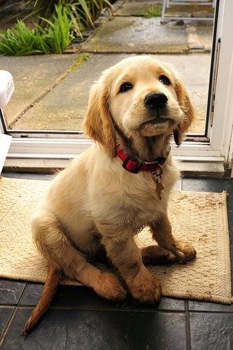 See more Beautiful Golden Retriever puppy,  http://cutepuppyanddog.blogspot.com/