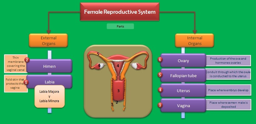 Educative Diagrams  The Female Reproductive System