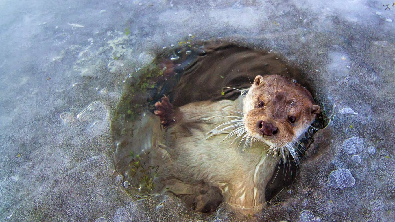 European otter near Lelystad, Netherlands (© Ernst Dirksen/Minden Pictures) 452