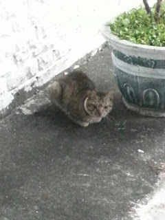 Fig.3,,彰化田中鎮,轉自臉書粉絲團:請支持流浪貓TNR計劃。