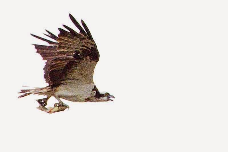 bird, Osprey in flight with fish