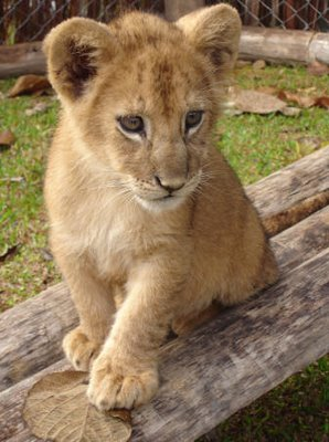 fantastic baby lion pictures