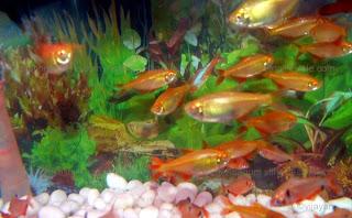 albino tetra fish picture