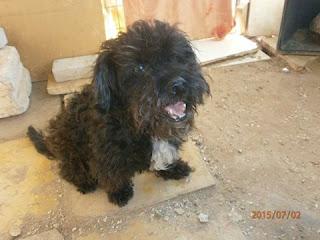Χάθηκε το σκυλάκι της φωτογραφίας από το Κερατσίνι. Ονομάζεται Νταμπο και φοράει λουράκι με χρωματιστες κλωστές.