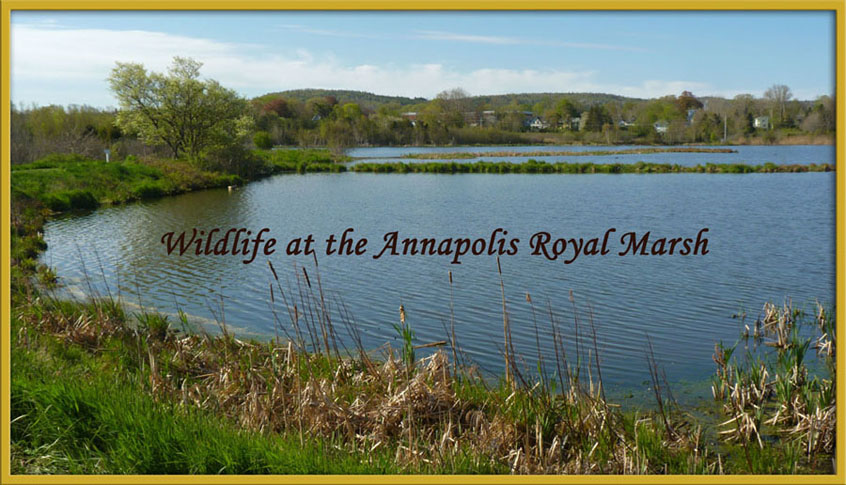 Life at the Annapolis Royal Marsh
