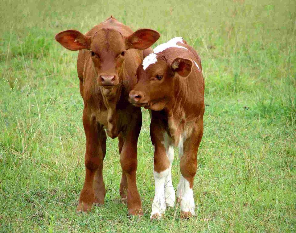 Vacas Bebes