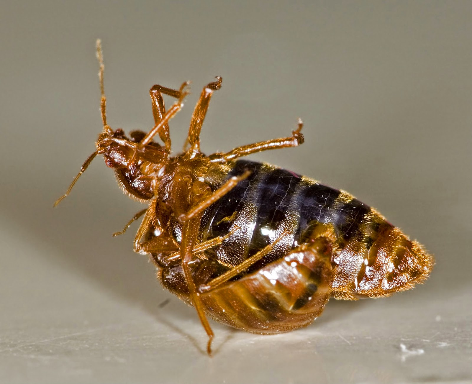 bugs get bed ncleaningtips to getting and of natural quick rid how home your in com