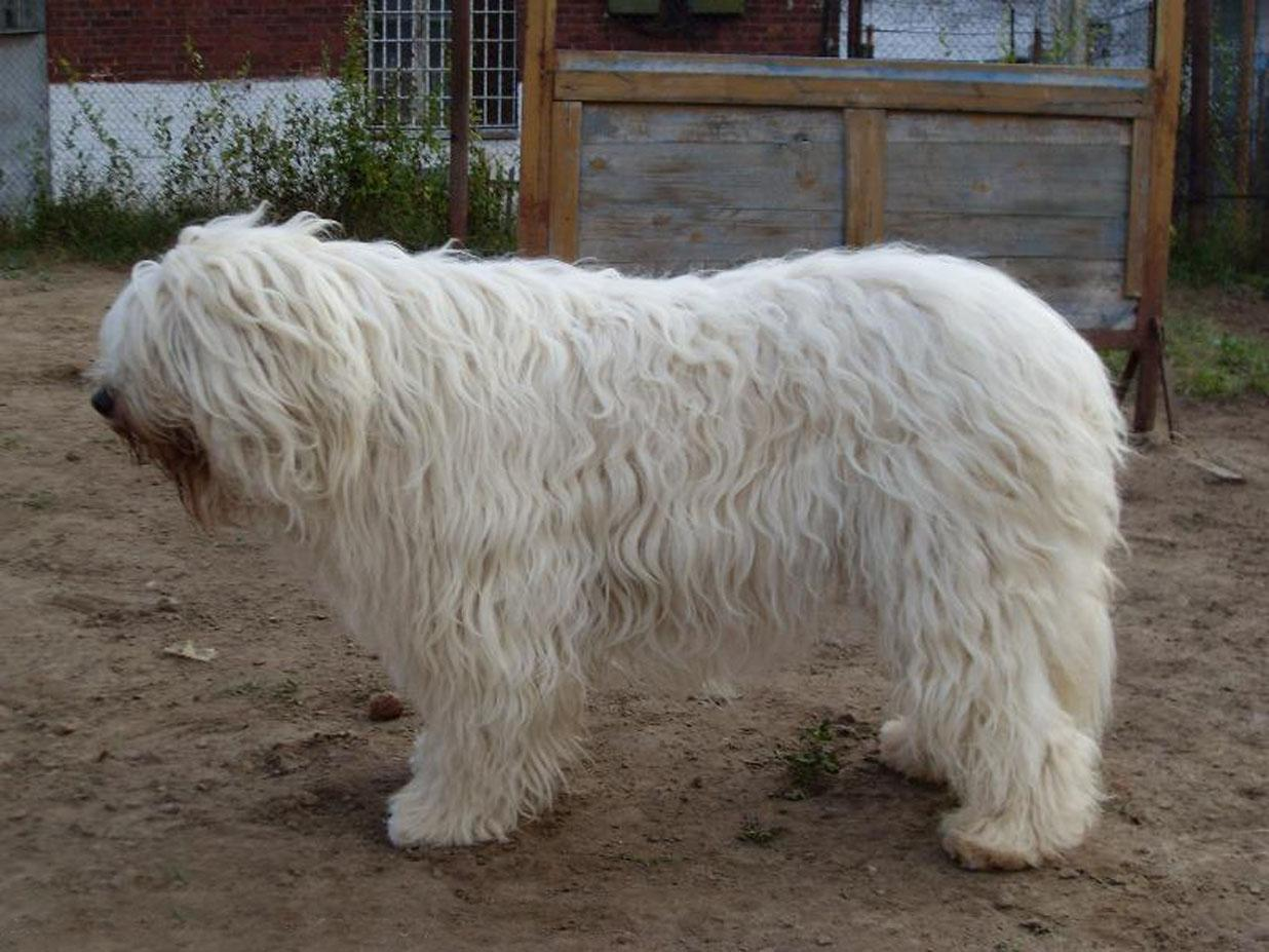 Caucasian Ovcharka Russian Bear Dog