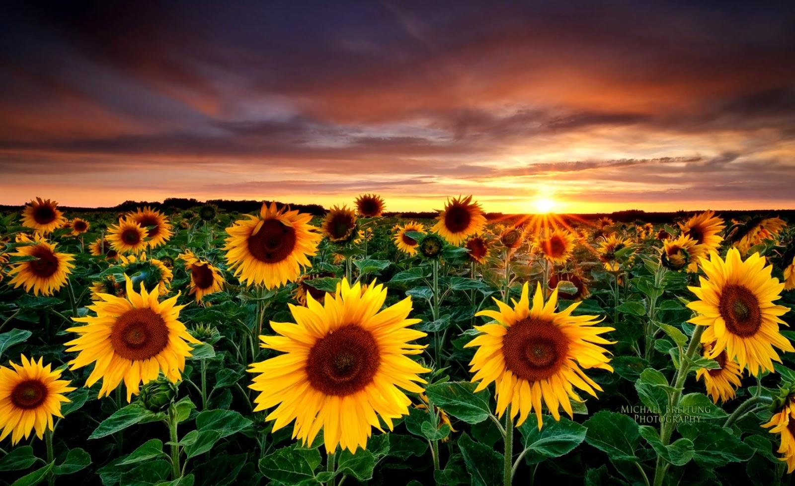 Sunflowers Nature Photography
