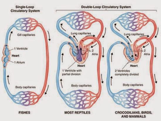 Eastern Black Rhino - Structural Hierarchy : Organ System (Circulatory)