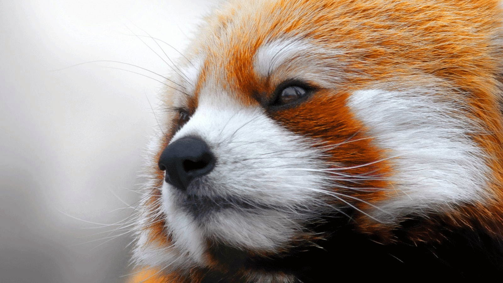 40 Adorable red panda pictures (40 pics), close up picture of red panda