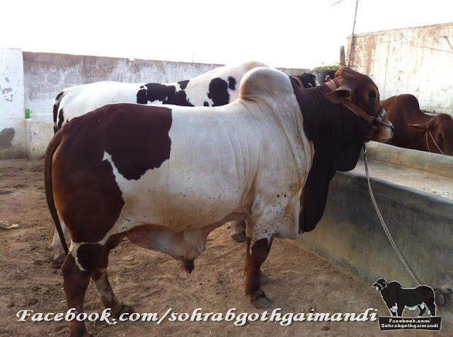 Jawaid Cattle Farm 2013
