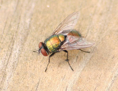 lalat maskolis