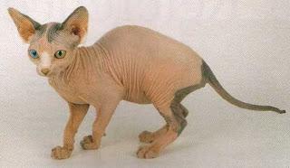 แมวสฟิงค์