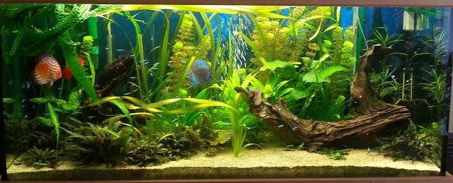 D coration aquarium amazonien for Quelle plante aquarium poisson rouge