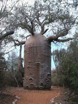 Misteri Pohon Baobab di Afrika