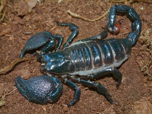 H Spinifer Scorpions Kalajengking: D...