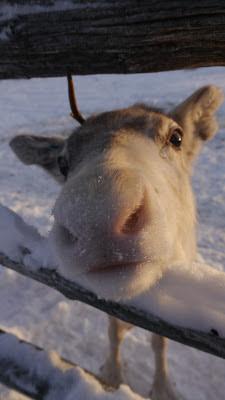 Happy Reindeer Nose Cute Hello Cuddly Finland Snow