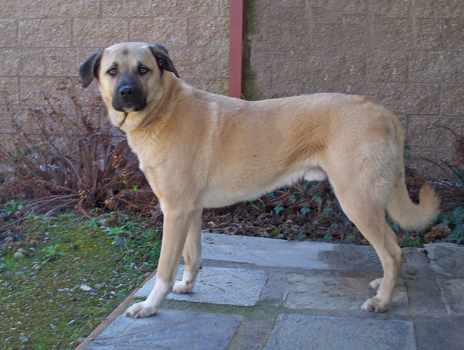 Anatolian Shepherd Mix National anatolian shepherd