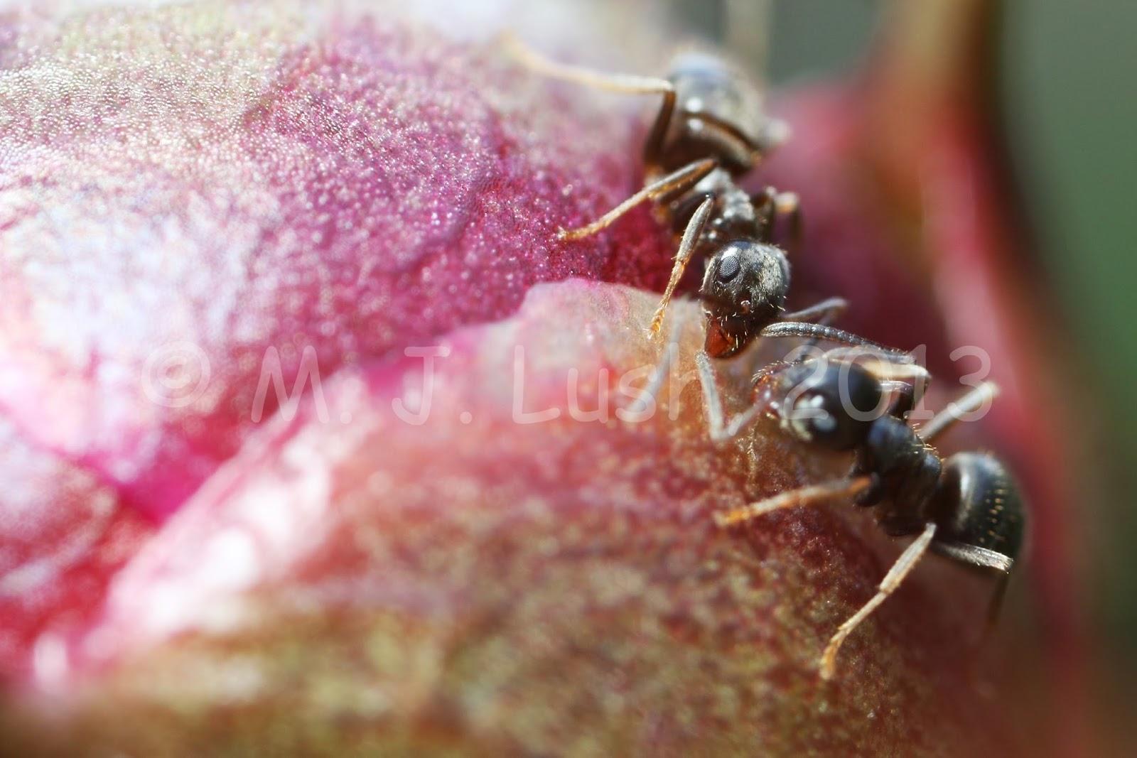 Lasius niger on garden peony