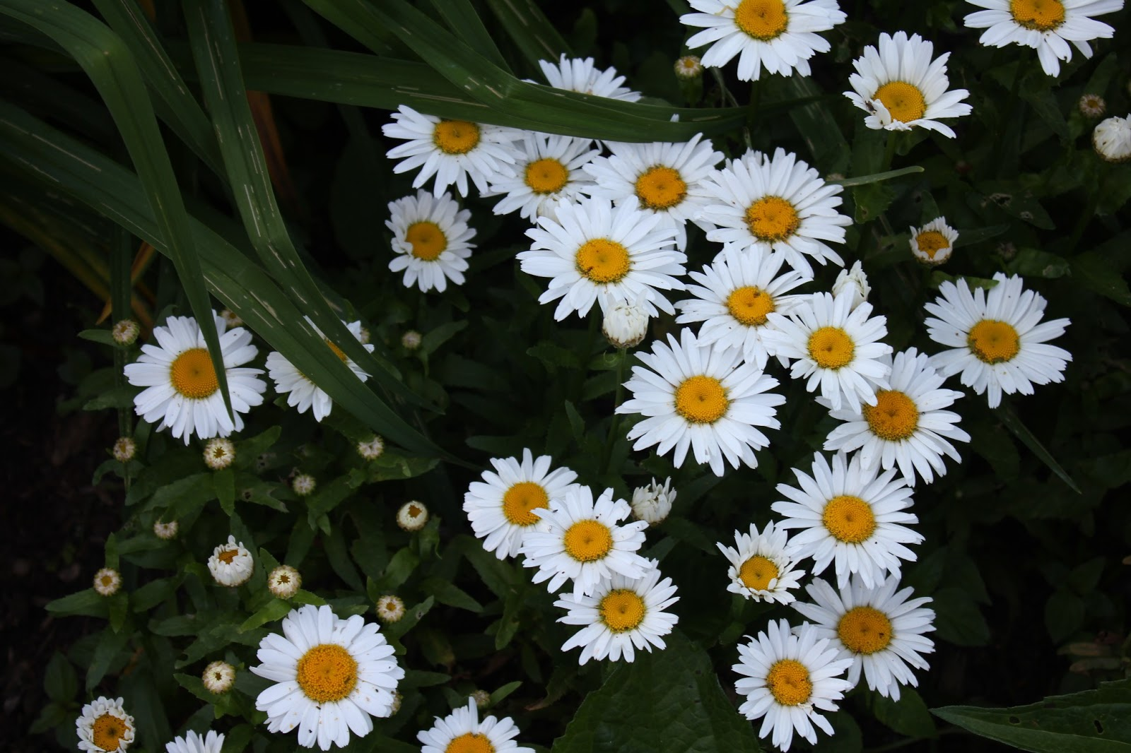 Gardening and gardens whats blooming june 2013 and of course my favorite flower of all time the daisy leucanthemum its bright white petals with golden yellow center is so cheery and makes me smile mightylinksfo