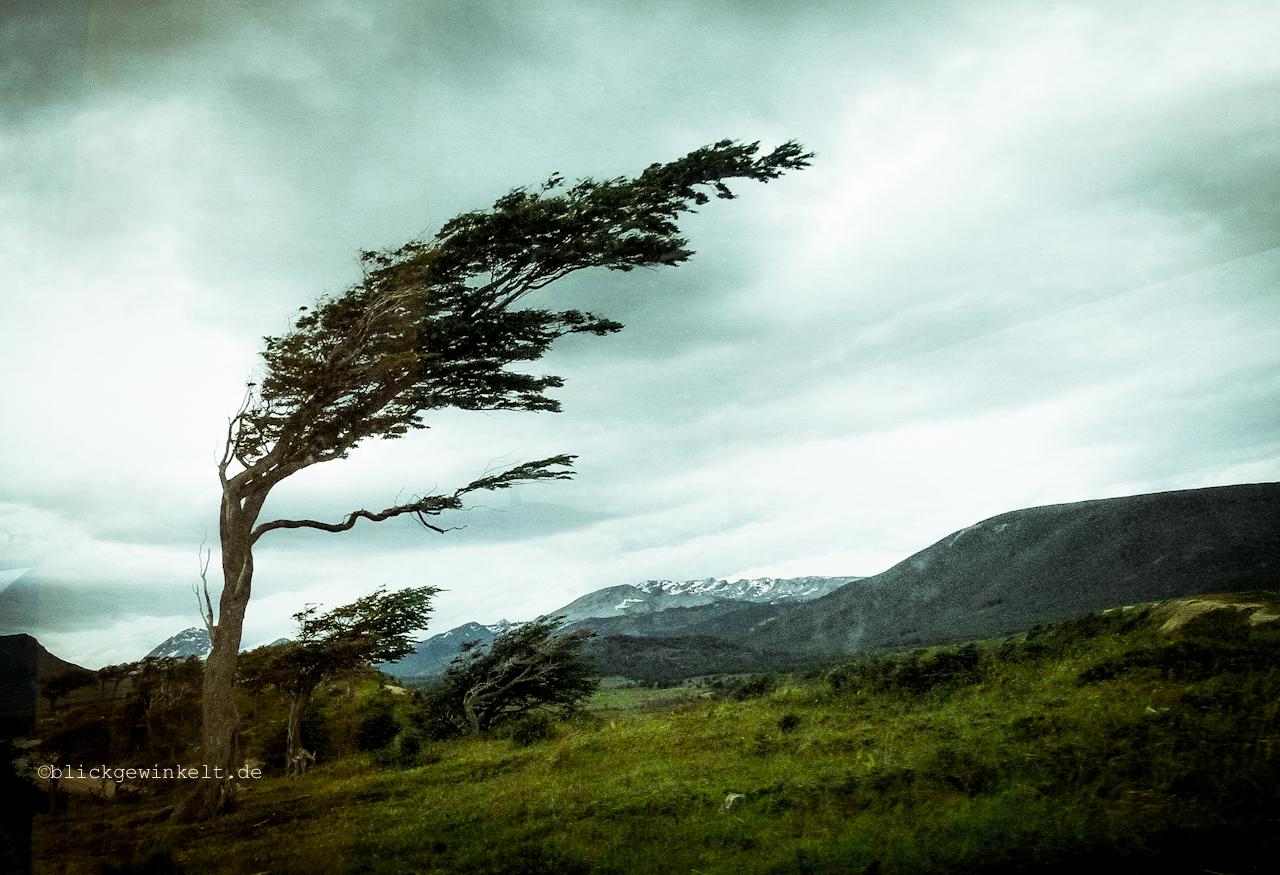 vom Wind gebeugter Baum