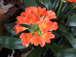 Clivia 2011