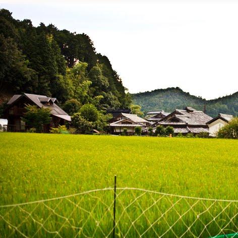 A Rice Field